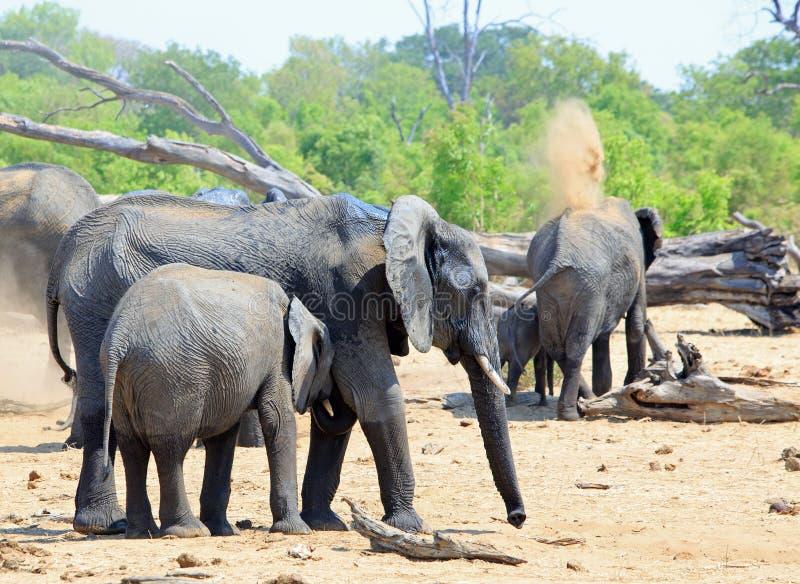 Manada de elefantes en los llanos africanos secos, polvo que lanza sobre ellos mismos a mantener fresco imagen de archivo