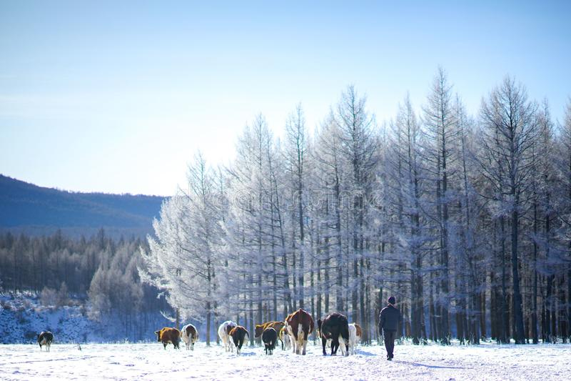 Manada de ganado Aershan Inner Mongolia China fotografía de archivo libre de regalías