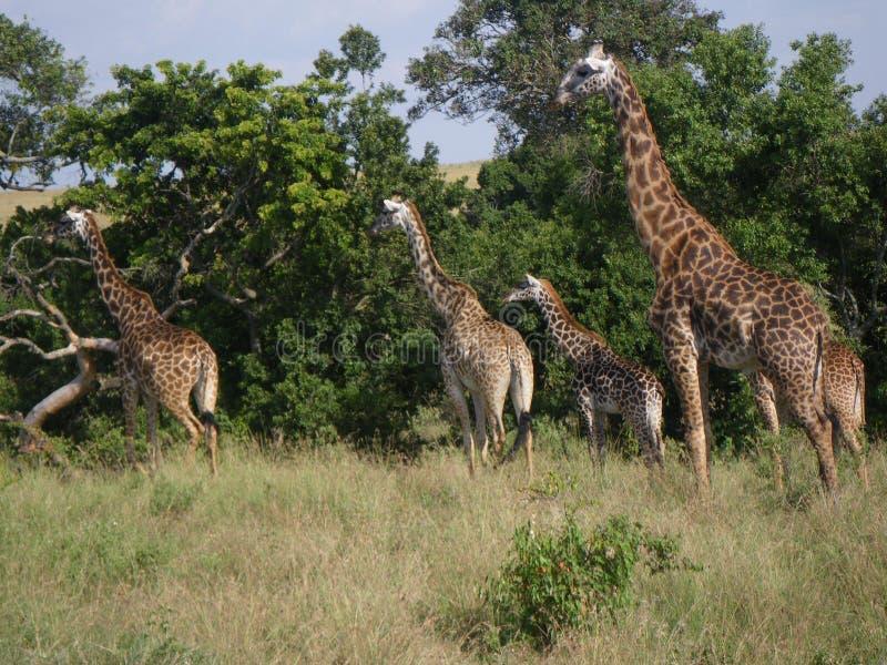 Manada de jirafas en Kenia foto de archivo libre de regalías