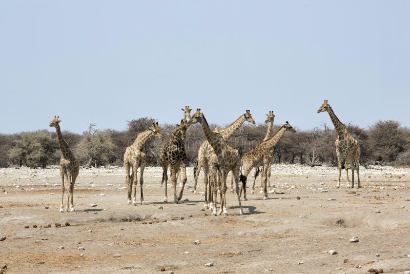 Manada de jirafas, parque nacional de Etosha, Namibia imagen de archivo
