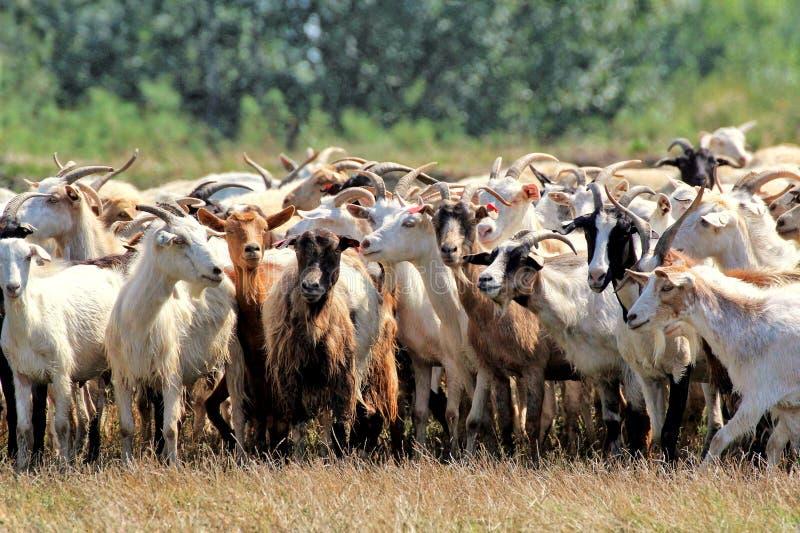 manada de la cabra en el pasto imagenes de archivo
