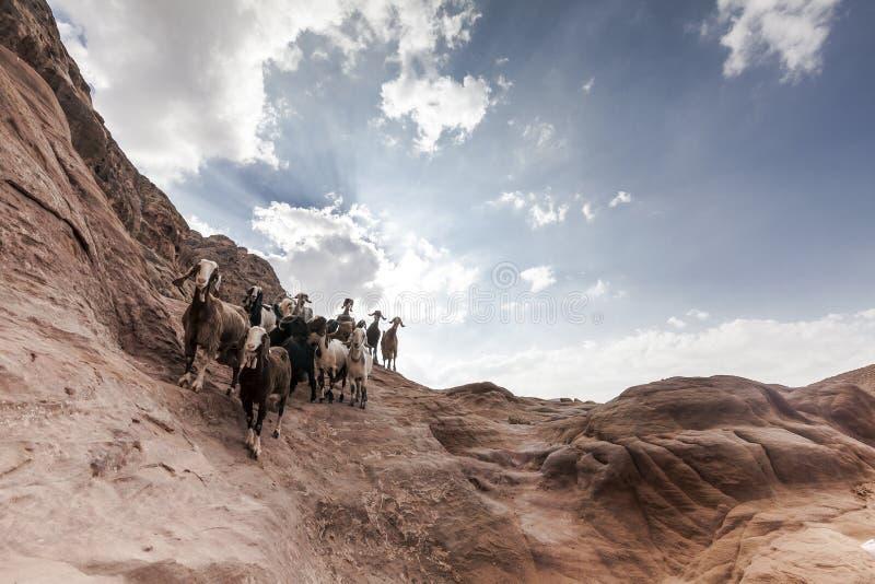 Manada de la cabra en el Petra fotos de archivo libres de regalías