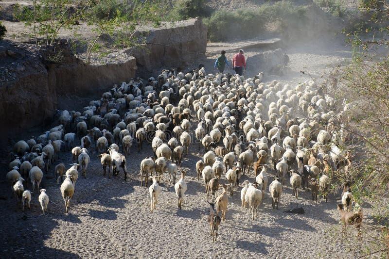 Manada de la cabra, Palomares, Andalucía imagen de archivo