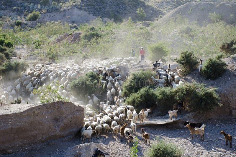 Manada de la cabra, Palomares, Andalucía foto de archivo libre de regalías