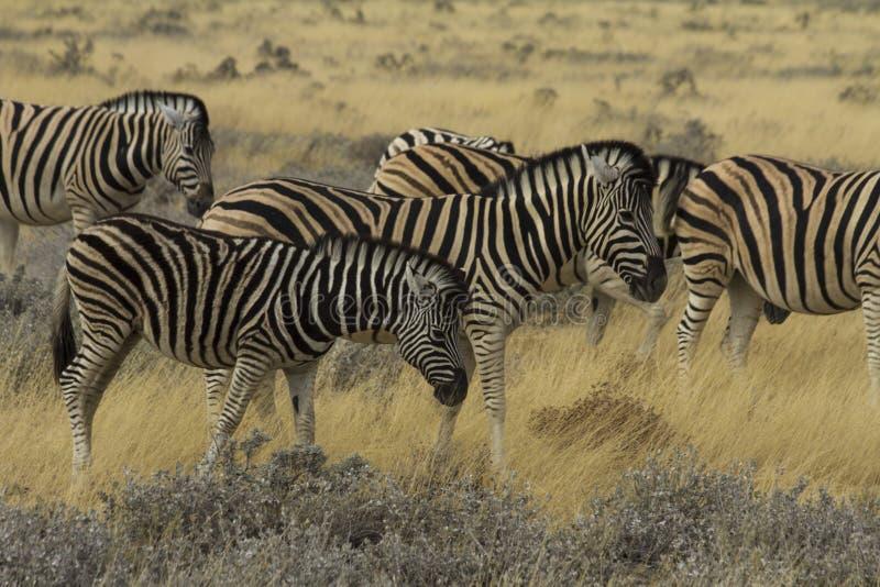 Manada de la cebra de los llanos en el parque nacional Namibia de Etosha imagen de archivo