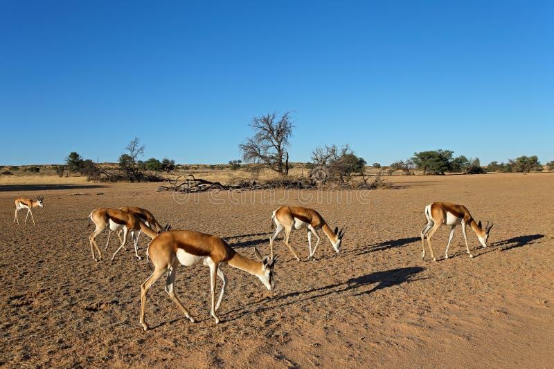 Manada de la gacela en paisaje del desierto foto de archivo