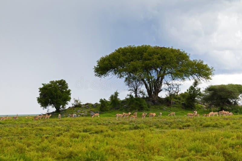 Manada de la gacela de THOMSON del antílope, la gacela de Grant, alimentación de ganado africana en Serengeti, África fotografía de archivo