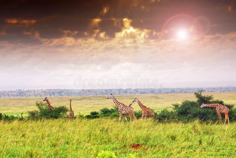 Manada de la jirafa imagen de archivo