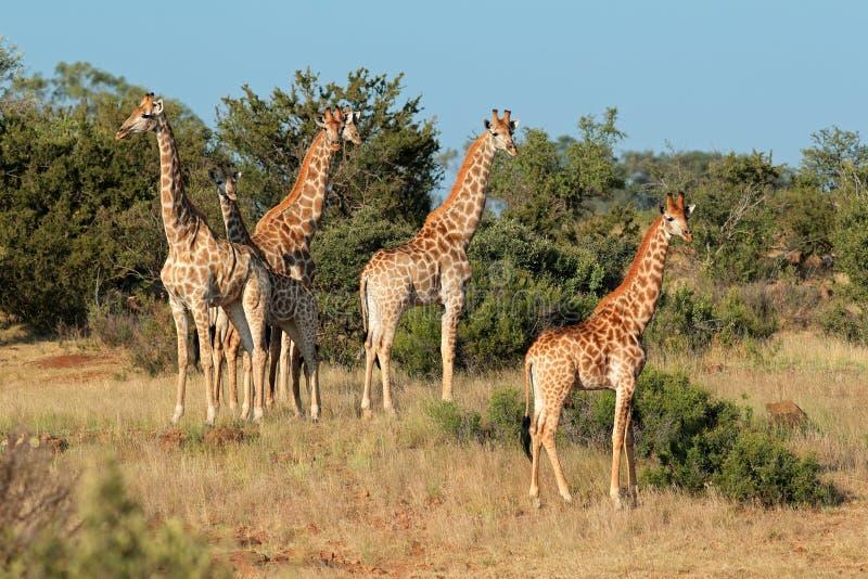 Manada de la jirafa en hábitat natural fotografía de archivo libre de regalías