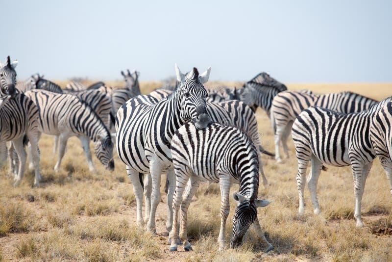Manada de las cebras hermosas que pastan en sabana en el primer del fondo del cielo azul, safari en el parque nacional de Etosha, foto de archivo libre de regalías