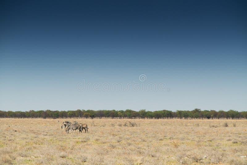 Manada de las cebras que caminan en etosha nafta África imagenes de archivo