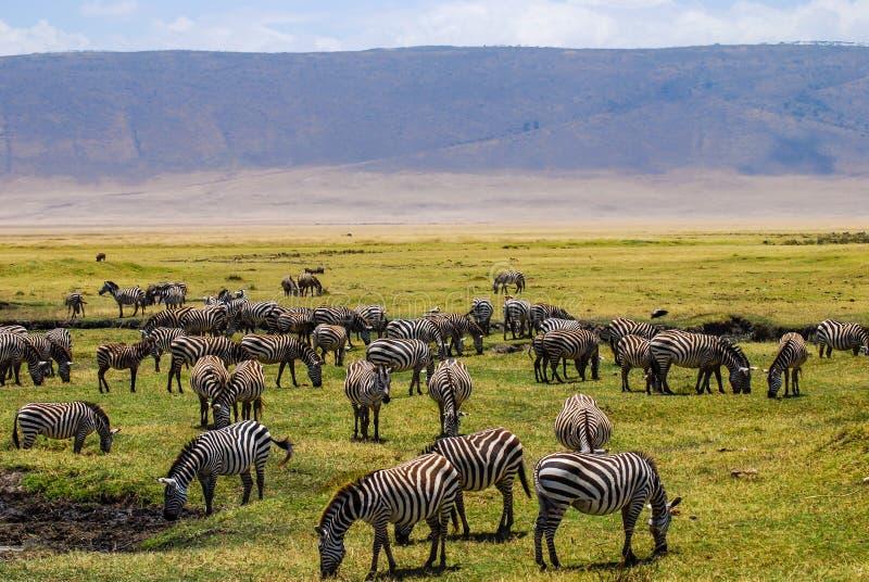 Manada de las cebras que pastan en los llanos verdes hermosos del parque nacional de Ngorongoro Safari en Tanzania foto de archivo