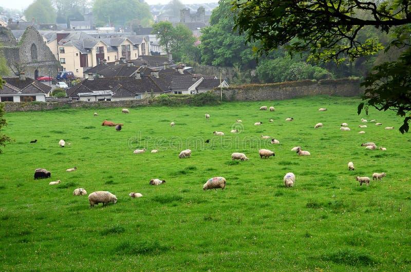 Manada de las gramíneas forrajeras de las ovejas en la naturaleza fotos de archivo libres de regalías