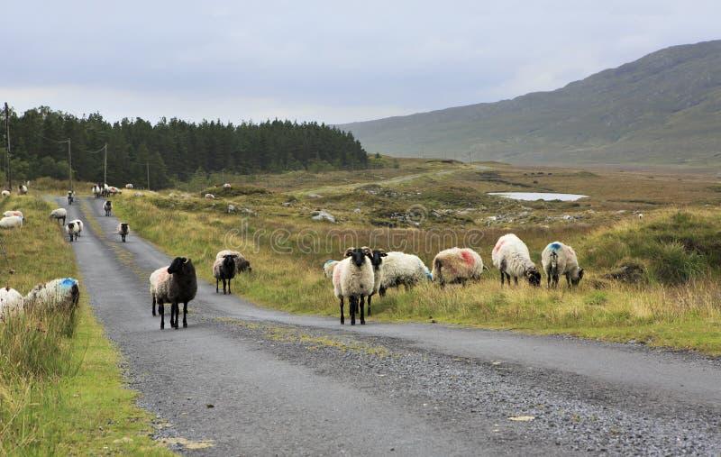 Manada de las ovejas blancas con la cabeza negra en el camino fotos de archivo