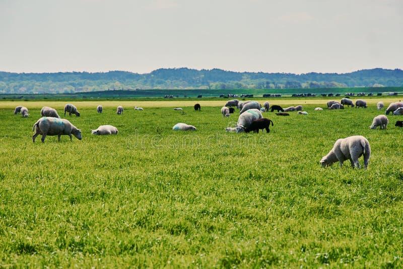 Manada de las ovejas en los Países Bajos fotografía de archivo