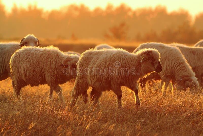 Manada de las ovejas en luz anaranjada hermosa del amanecer imagenes de archivo
