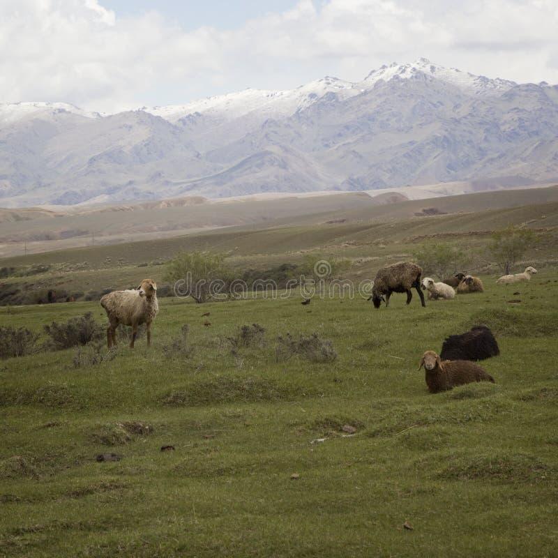 Manada de las ovejas que pastan en la ladera, Kirguistán fotografía de archivo