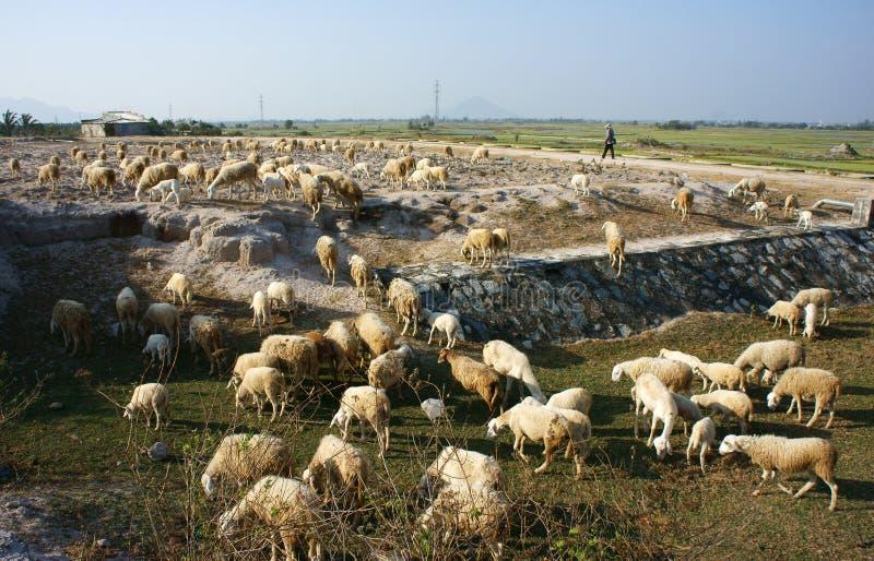 Manada de las ovejas que pastan en prado fotos de archivo libres de regalías
