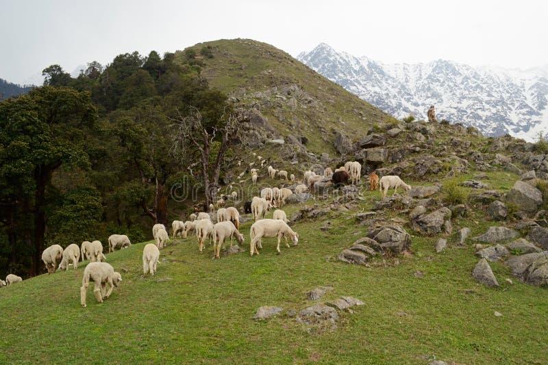 Manada de las ovejas que pastan en un prado verde entre las rocas fotos de archivo libres de regalías