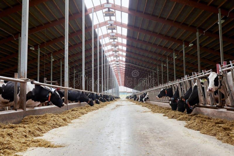 Manada de las vacas que comen el heno en establo en la granja lechera foto de archivo libre de regalías
