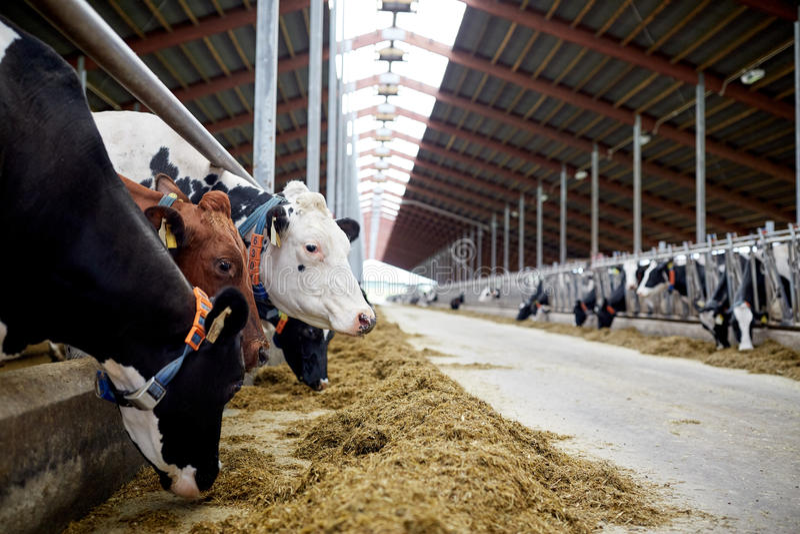 Manada de las vacas que comen el heno en establo en la granja lechera imagen de archivo libre de regalías