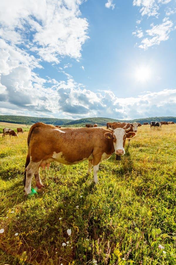 Manada de las vacas que pastan en campo soleado fotos de archivo libres de regalías