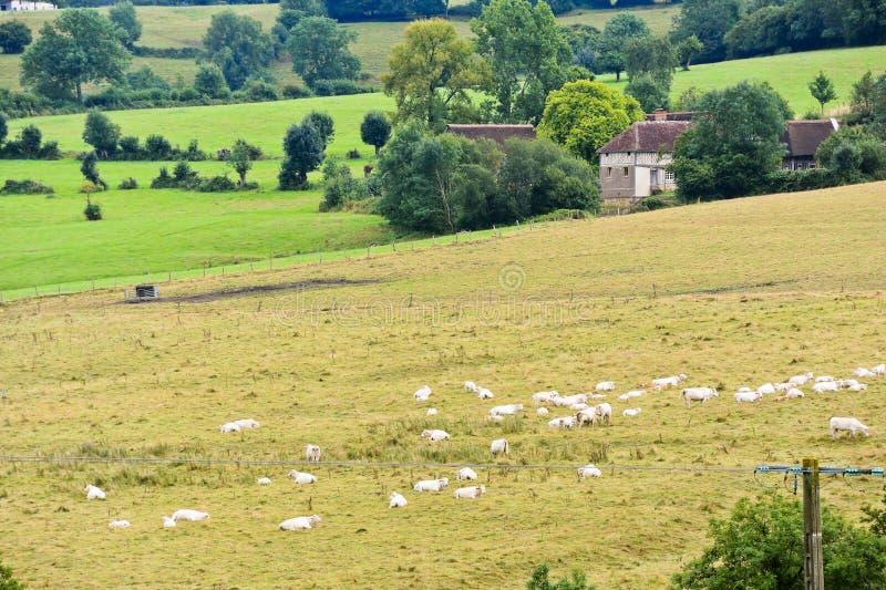 Manada de las vacas que pastan en el campo cosechado, Normandía imagen de archivo