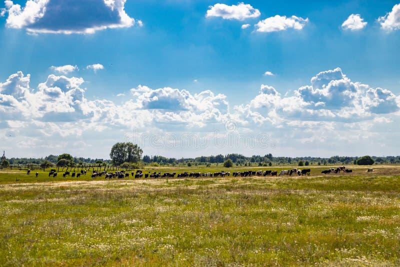 Manada de las vacas que pastan en un prado imagen de archivo