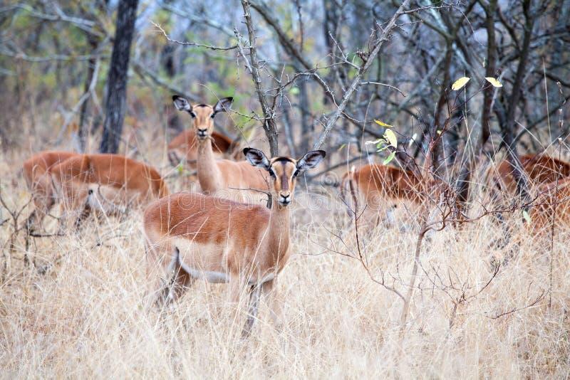 Manada de los antílopes femeninos del impala en hierba, árboles y cierre del fondo del cielo azul para arriba en el parque nacion imagenes de archivo