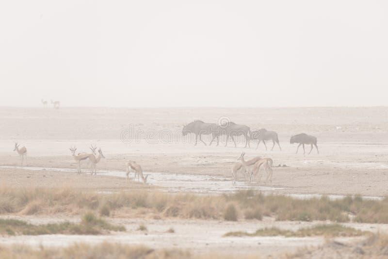 Manada de los antílopes que pastan en la cacerola del desierto Tempestad de arena y niebla Safari en el parque nacional de Etosha imagen de archivo libre de regalías
