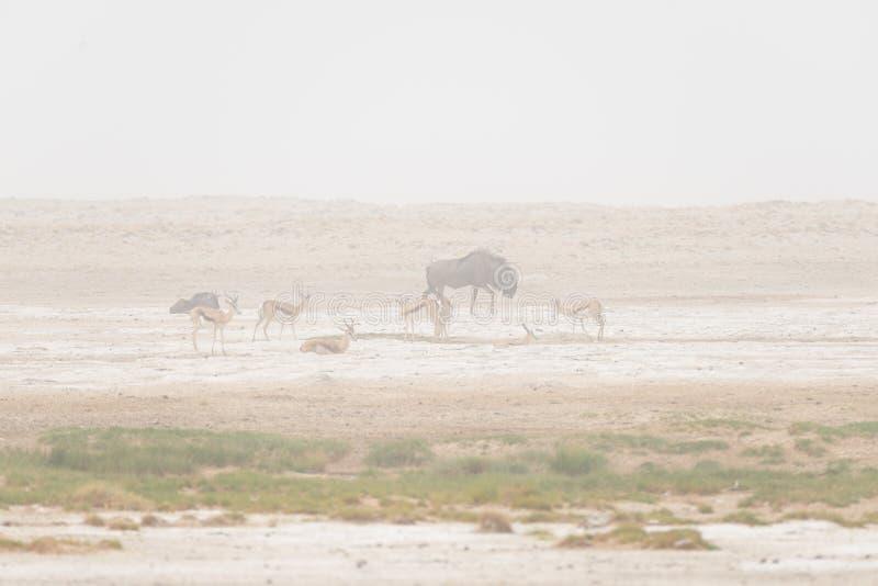 Manada de los antílopes que pastan en la cacerola del desierto Tempestad de arena y niebla Safari en el parque nacional de Etosha foto de archivo