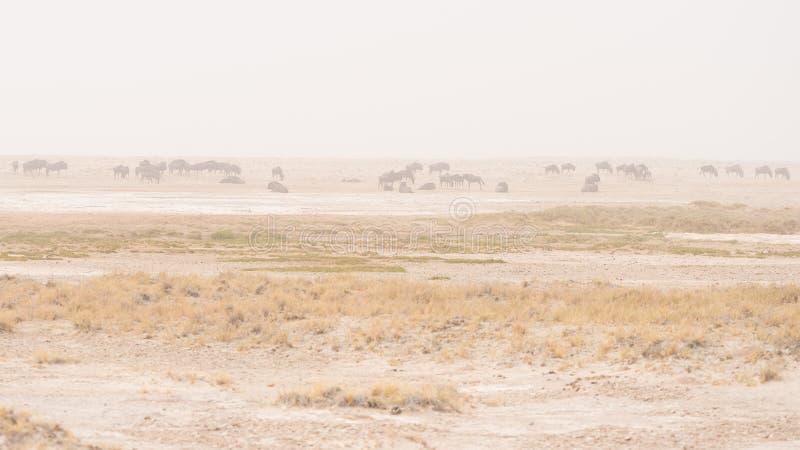 Manada de los antílopes que pastan en la cacerola del desierto Tempestad de arena y niebla Safari en el parque nacional de Etosha fotos de archivo