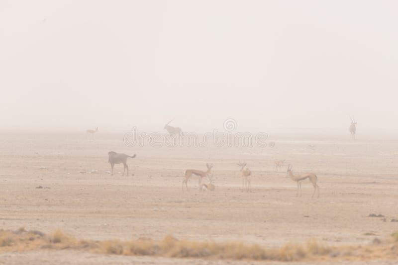 Manada de los antílopes que pastan en la cacerola del desierto Tempestad de arena y niebla Safari en el parque nacional de Etosha imagen de archivo