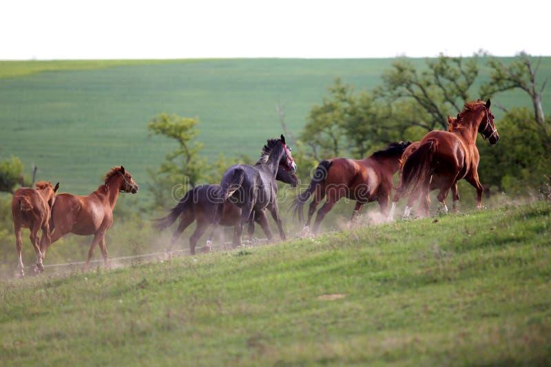 Manada de los caballos que corren adelante en el polvo en la puesta del sol imágenes de archivo libres de regalías