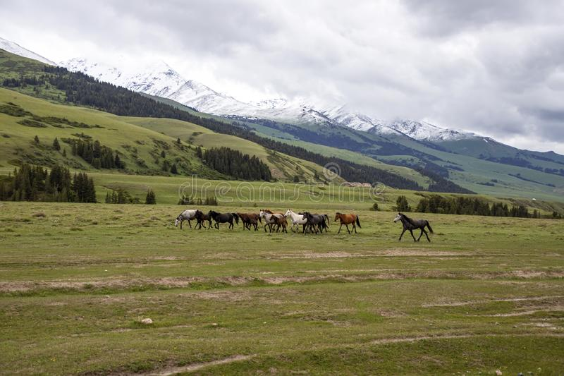 Manada de los caballos que pastan en un pasto verde contra el contexto de montañas fotografía de archivo