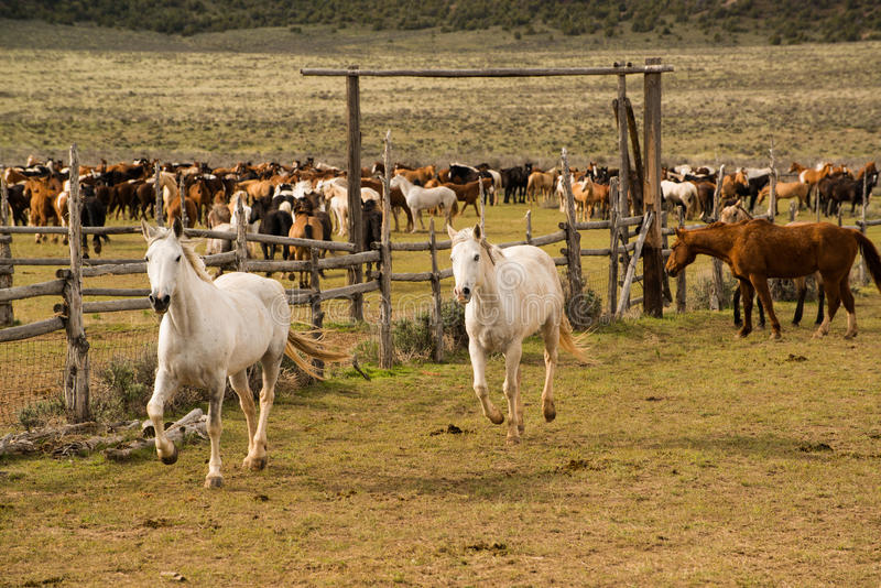 Manada de los caballos que son redondeados hasta el corral foto de archivo