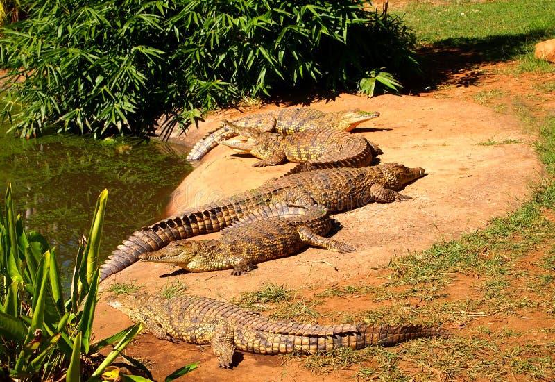 Manada de los cocodrilos del Nilo que miente en la hierba Viñedo famoso de Kanonkop cerca de las montañas pintorescas en el resor imágenes de archivo libres de regalías