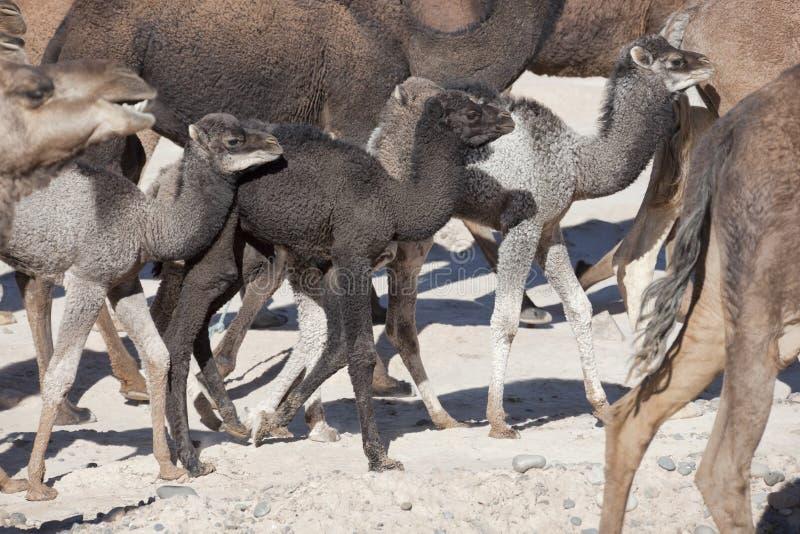 Manada de los dromedarios (camellos). foto de archivo libre de regalías