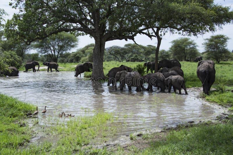 Manada de los elefantes africanos que vadean en el agua de río en el área de Tarangire de Tanzania, África fotos de archivo