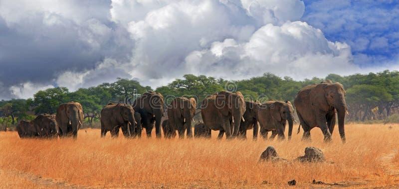Manada de los elefantes que caminan a través de los palins en el parque nacional de Hwange imagen de archivo