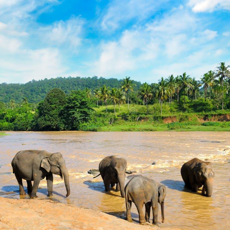 Manada de los elefantes que se bañan en el río de la selva fotografía de archivo libre de regalías
