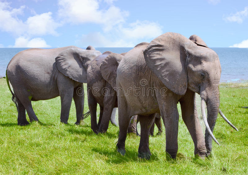 Manada de los elefantes que se colocan con el lago Kariba en el fondo, Zimbabwe, África meridional imagen de archivo libre de regalías