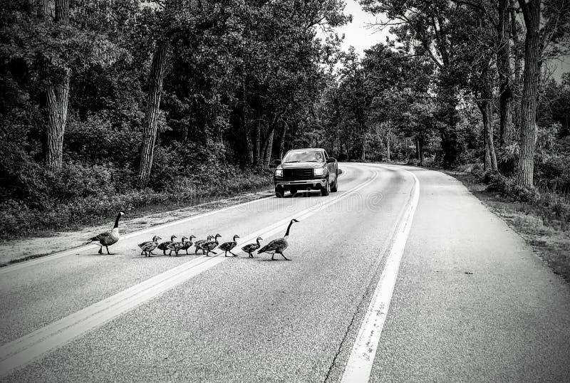 Manada de los gansos que cruzan el camino blanco y negro imagenes de archivo