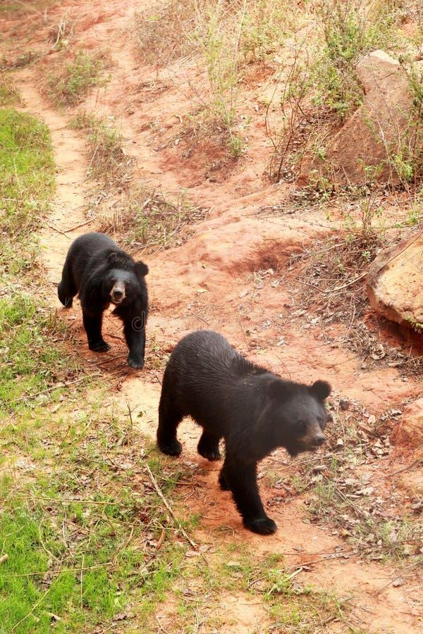 Manada de los osos en la naturaleza fotos de archivo