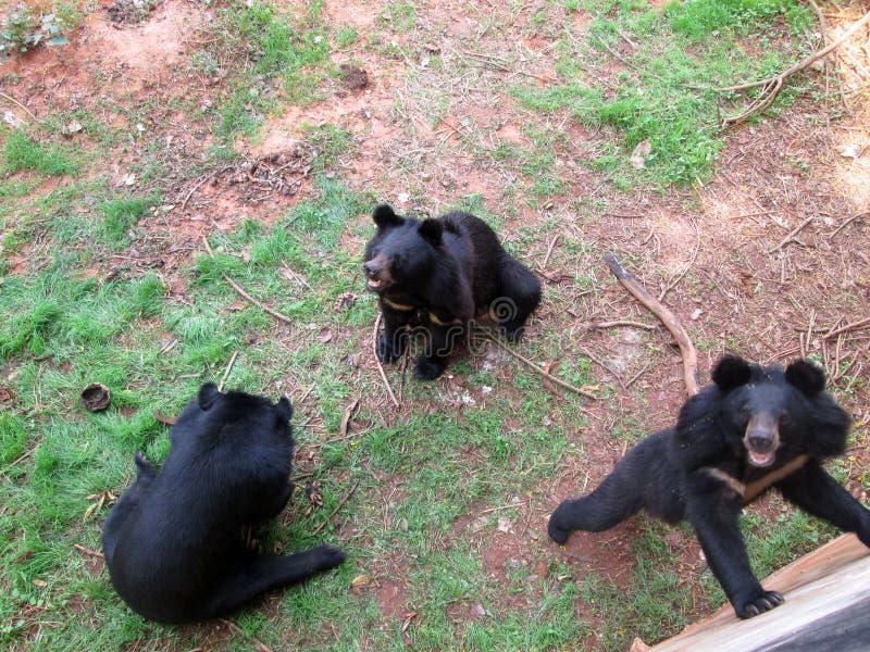 Manada de los osos en la naturaleza imagen de archivo libre de regalías