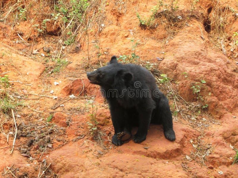Manada de los osos en la naturaleza foto de archivo libre de regalías