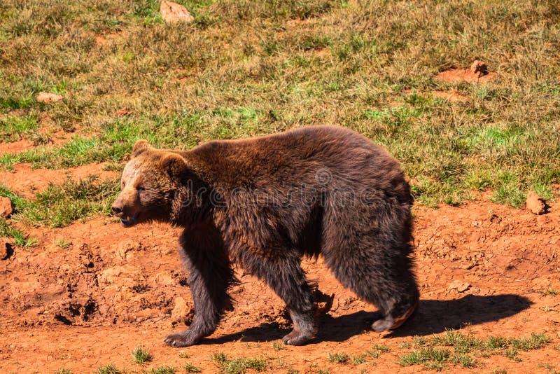 Manada de los osos en la naturaleza imagen de archivo