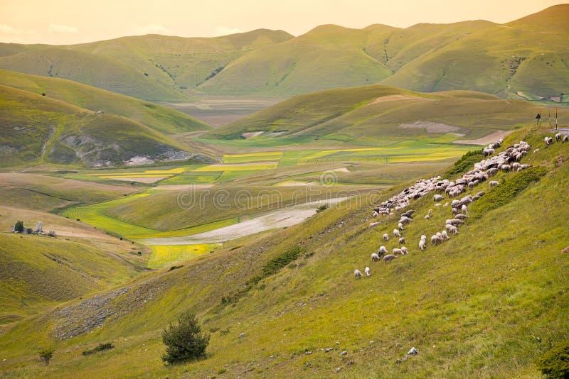 Manada de ovejas en el piano grande, Umbría, Italia imagen de archivo