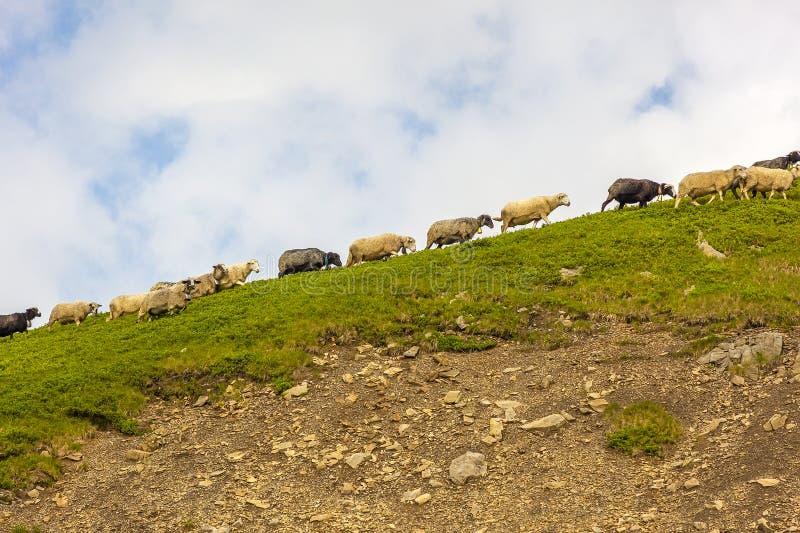 Manada de ovejas en rocas de la montaña imágenes de archivo libres de regalías