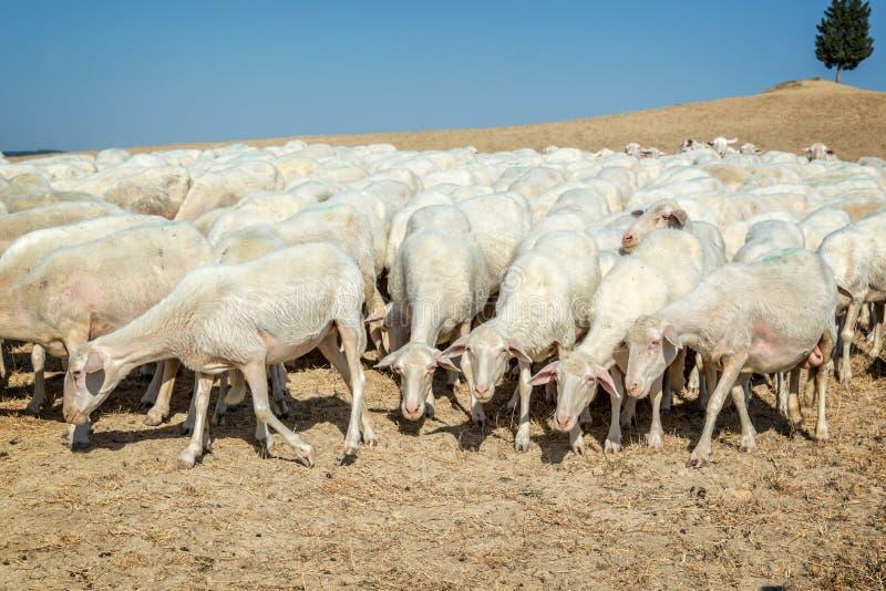 Manada de ovejas en un campo secado en el verano Italia imagen de archivo